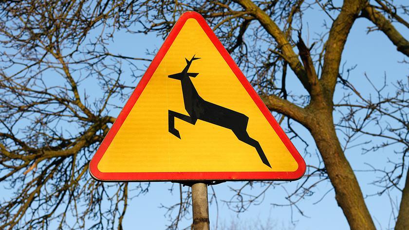 Dzikie zwierzęta na drodze