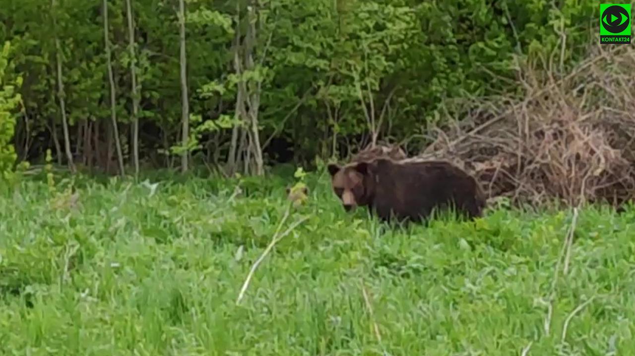 Wójt ostrzega przed niedźwiedziem, który odwiedza miejscowość turystyczną