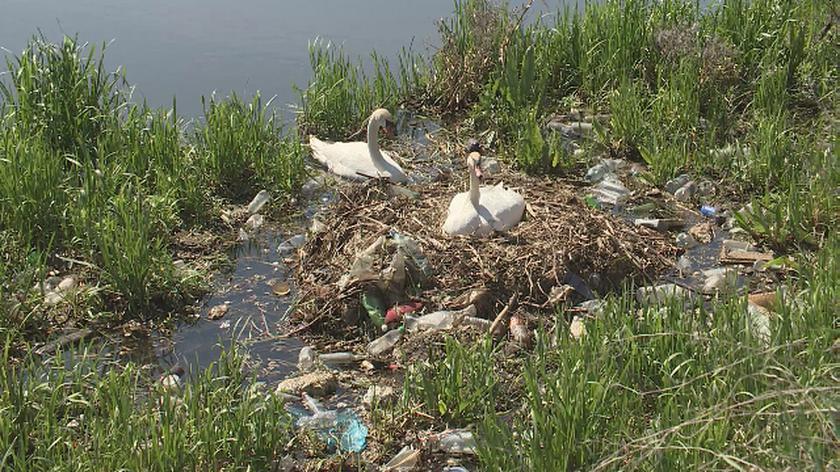 """""""Łabędzie nie mogą mieć tu gniazda, jest za dużo śmieci"""""""