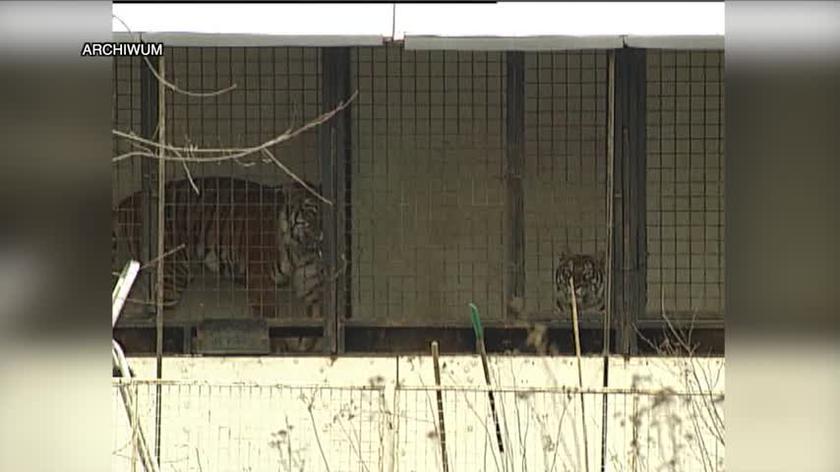Obława na tygrysa bengalskiego