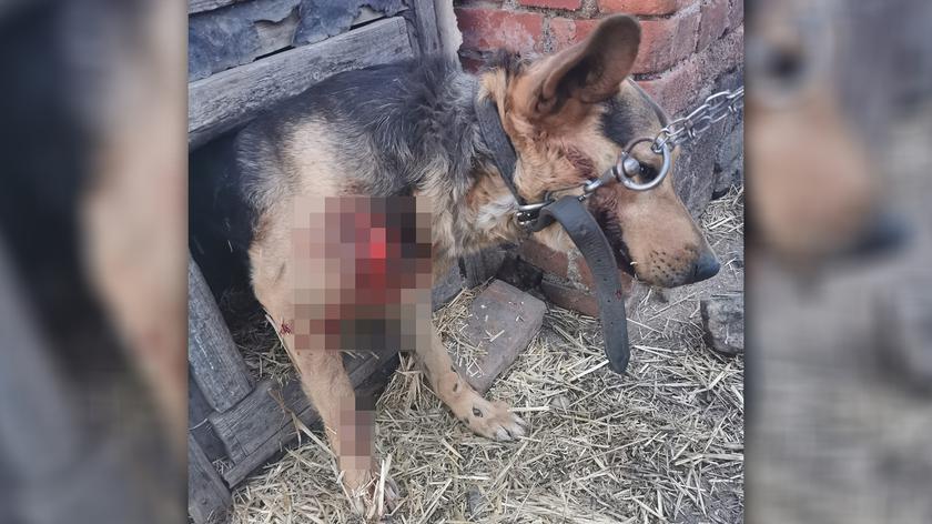 Pies ciągnięty za samochodem miał liczne obrażenia