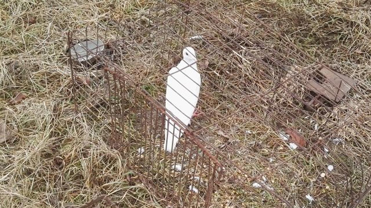 Klatka, w niej ptak na przynętę. Uwolniony gołąb doprowadził policjantów do osoby, która zastawiła pułapkę