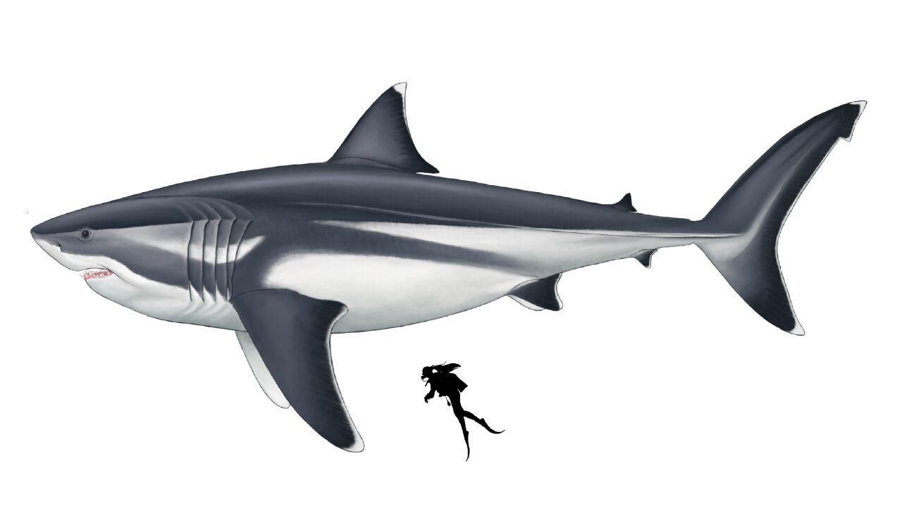 Miał płetwę wielkości człowieka. Naukowcy poznali rozmiary ogromnego megalodona