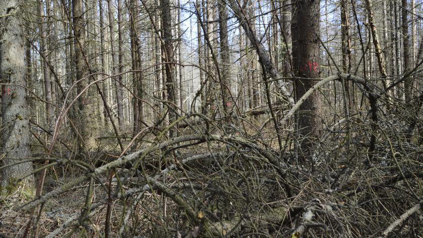 Wychnięte drzewa w Nadleśnictwie Hajnówka