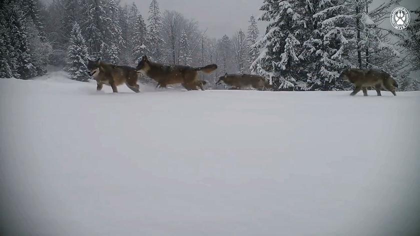 Fotopułapka uchwyciła wilki w Beskidzie Żywieckim