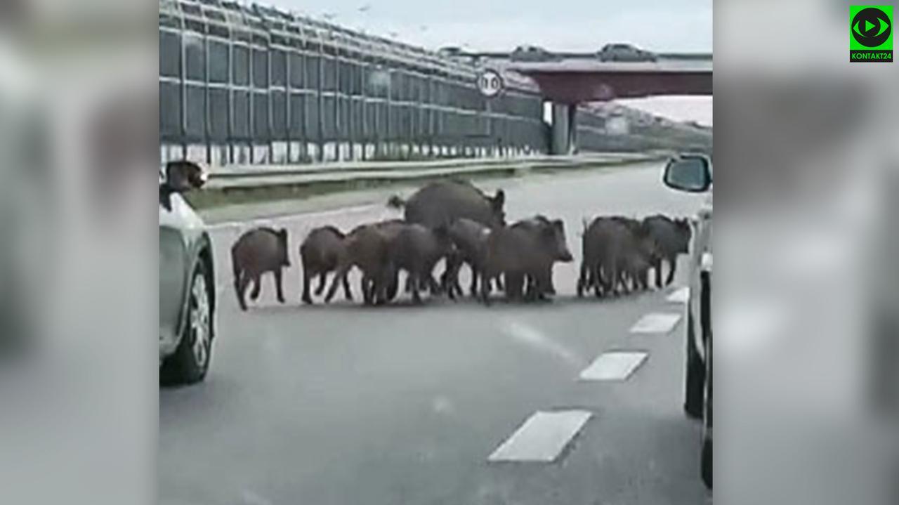 Rodzina dzikĂłw na trasie S8. Kierowcy prĂłbowali pomĂłc