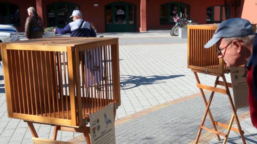Rawicz: Na wystawie gołębi zamiast ptaków były tylko ich zdjęcia