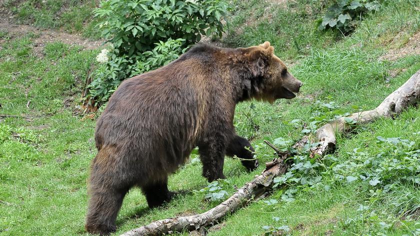 Leśniczy o bliskich spotkaniach z niedźwiedziami
