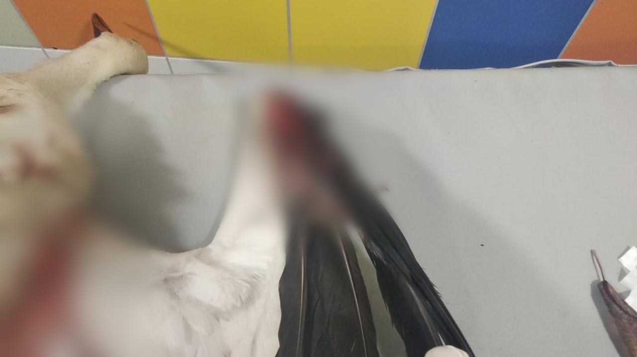 Spadł i połamał skrzydła. Młody bocian został postrzelony