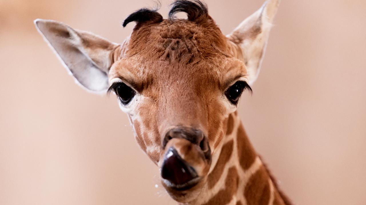 Ma na imię Inuki. Mała żyrafka powiększyła wrocławskie stado