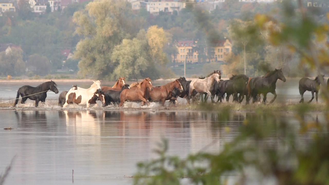 Odra się rozlała, 50 koni zostało uwięzionych na łące.