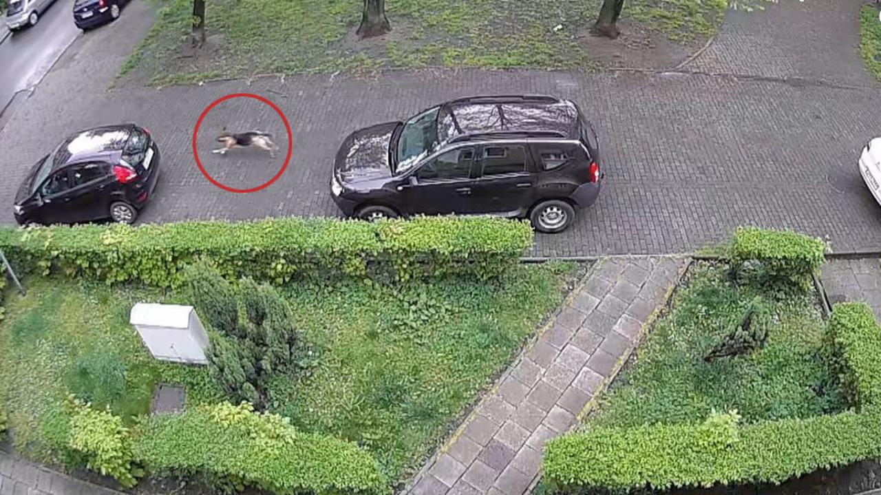 Pies-wandal dziurawił opony w samochodach