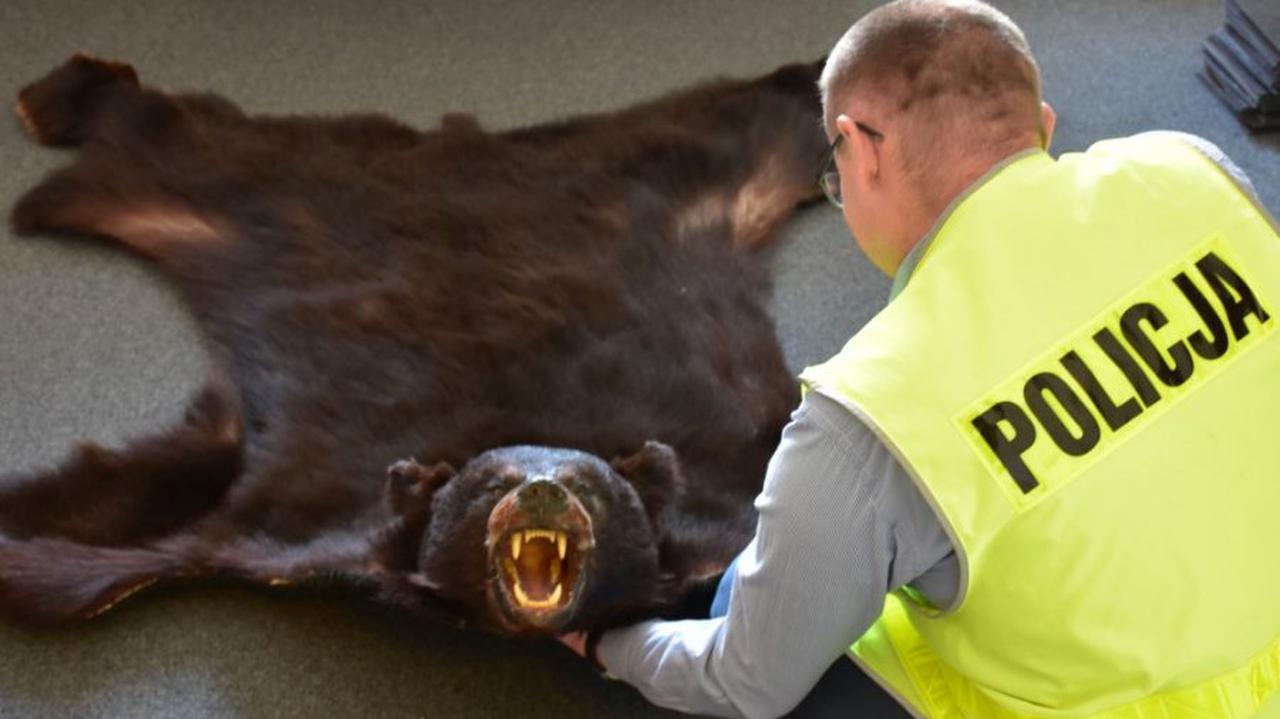 Próbował sprzedać nielegalną niedźwiedzią skórę. Trofeum trafiło do Muzeum Józefa Piłsudskiego w Sulejówku