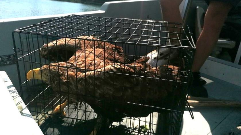 Policjanci wyciągnęli z wody bielika. Ptak potrzebował pomocy