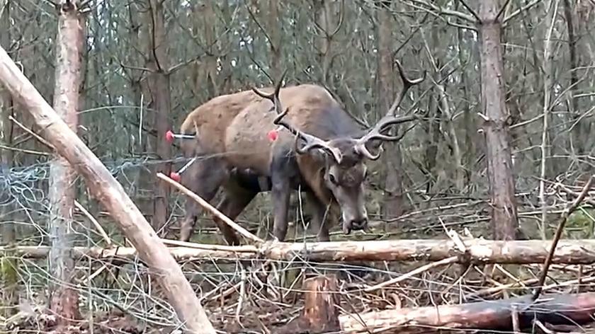 Konieczne było uśpienie jelenia przed akcją ratunkową