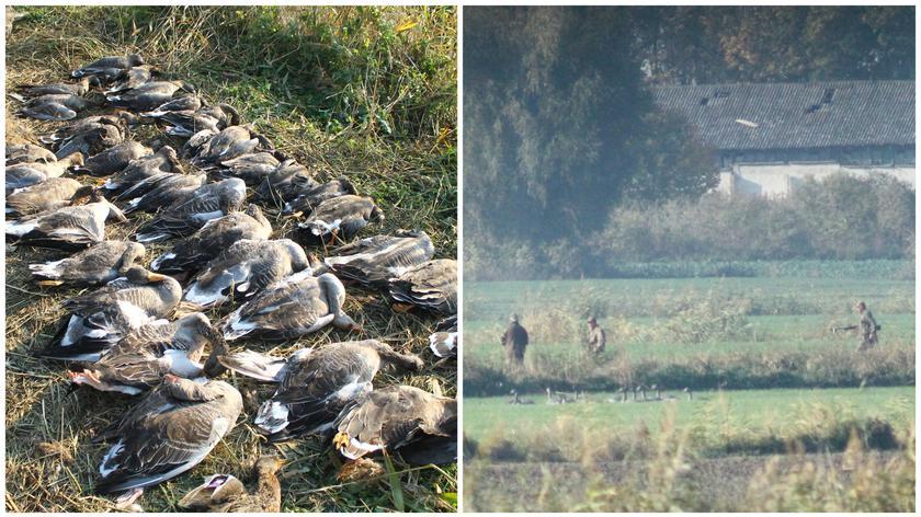 Zalew Wiślany: Włosi zastrzelili kilkaset ptaków