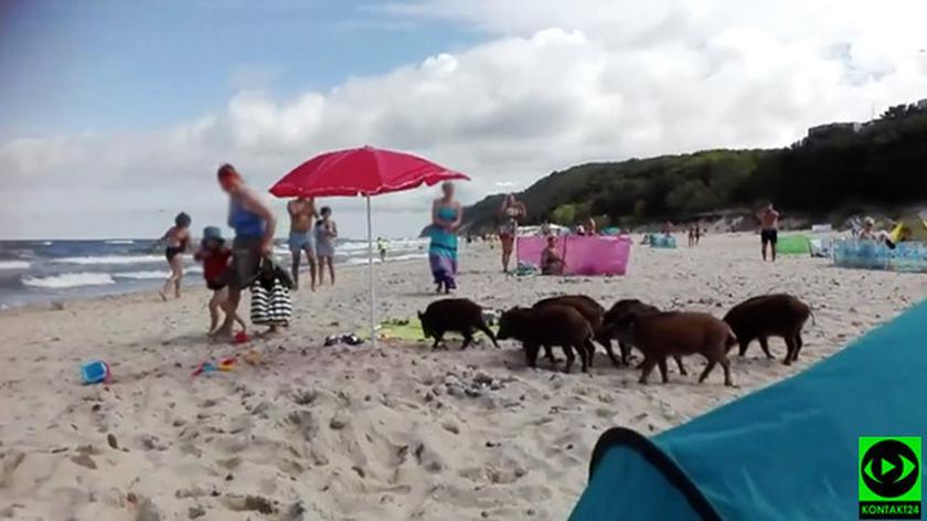 Zwierzęta biegały między parawanami (nagranie bez dźwięku)