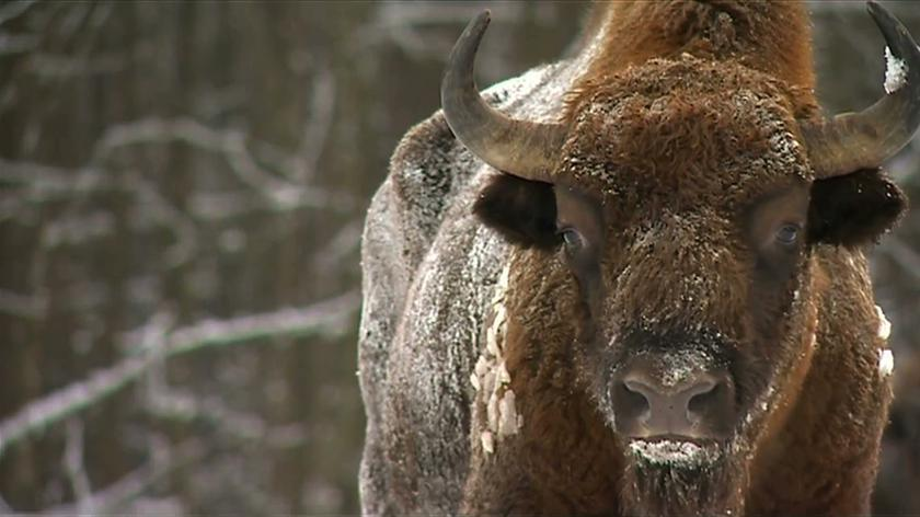 State Forests got a permission to shoot some 40 European bison
