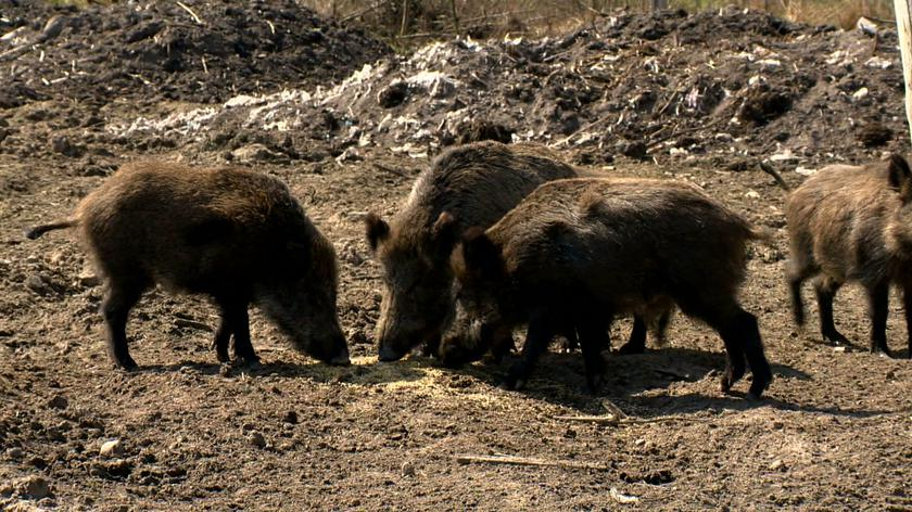 Authorities in German states bordering Poland have built fences in an attempt to stop wild boars wandering into Germany and spreading the disease (video from January 10th, 2019)