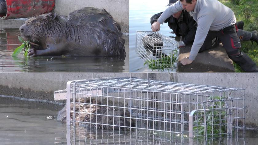 Uratowali zagubionego bobra