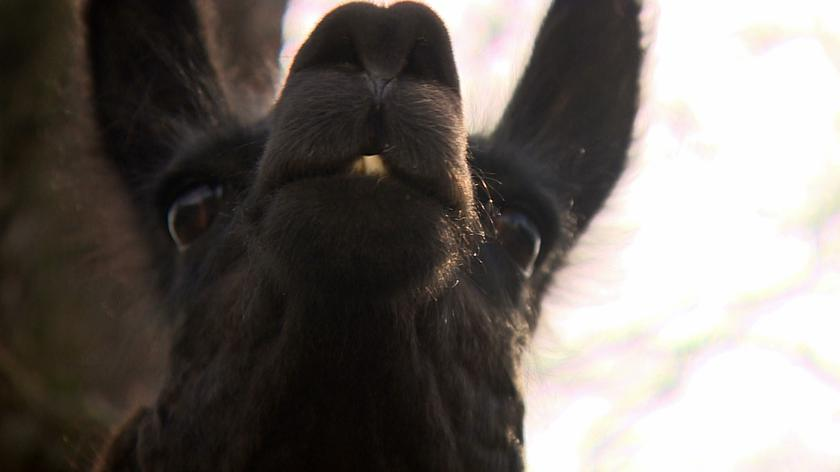 The whole town of Bieruń is looking for the missing llama