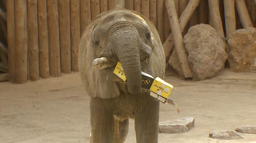 Słoń Ninio uwielbia wodę