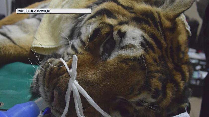 Operacja tygrysa Gogha