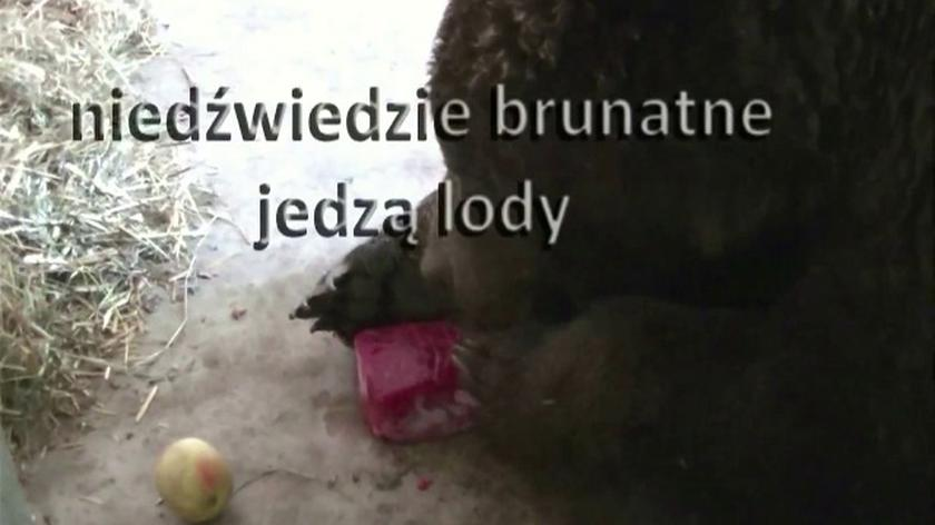 W poznańskim zoo niedźwiedzie dostały owocowe lody