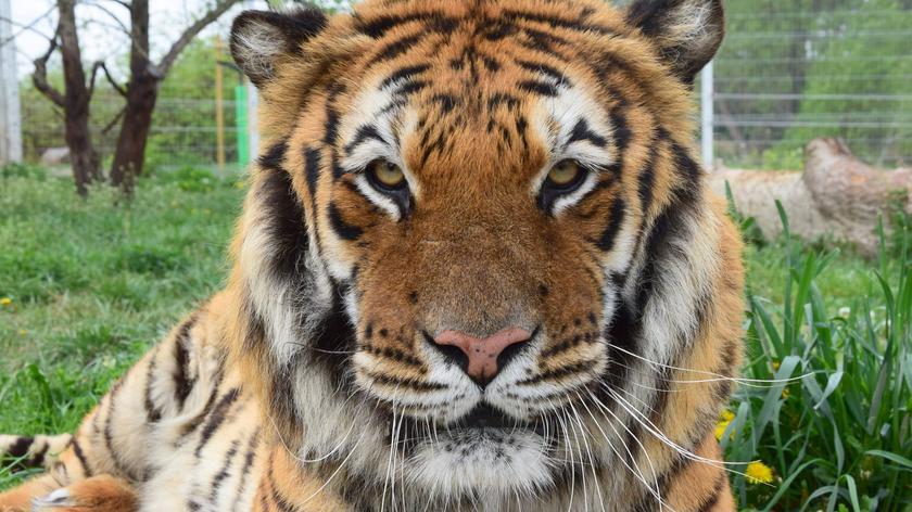 """Od Hiszpanii po Dagestan. Nowe tropy i historia tygrysów - część I reportażu """"Czarno na białym"""""""