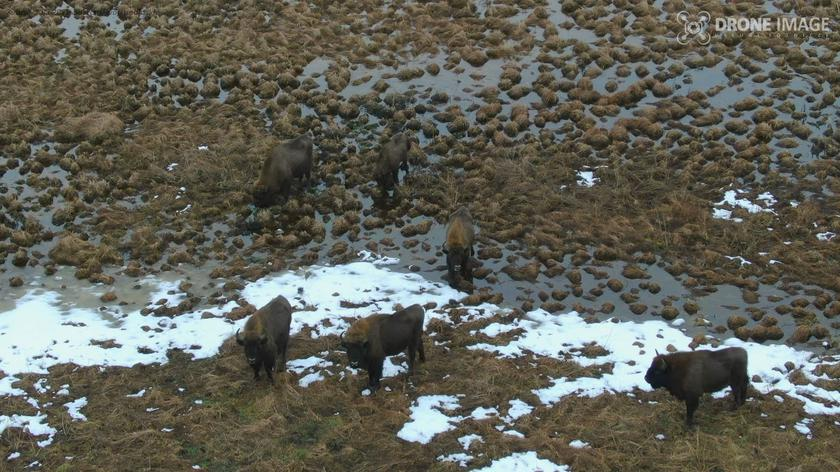 A group of 7 bisons moved away from the main herd