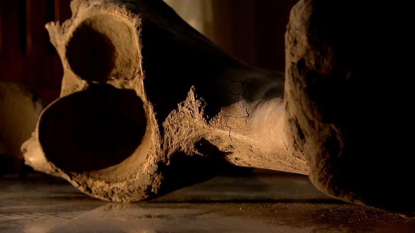 Na budowie warszawskiego metra odnaleziono szczątki słoniowatego