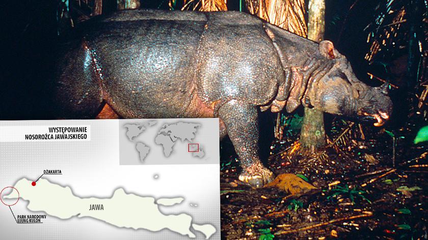 Nosorożec jawajski zagrożony wyginięciem