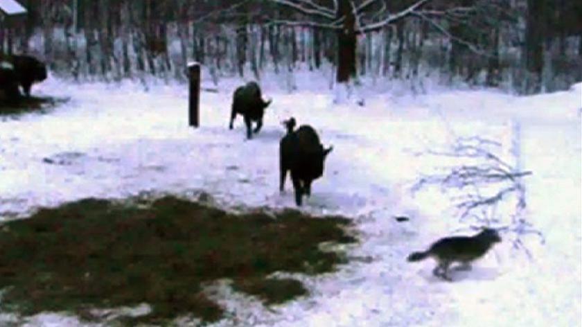 Wilki odwiedziły żubry (Krzysiek Łapiński)