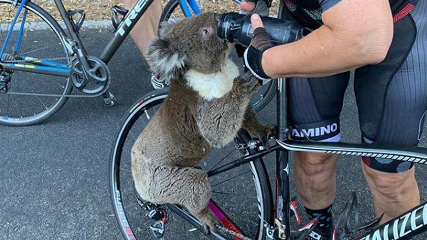 Spragniony koala