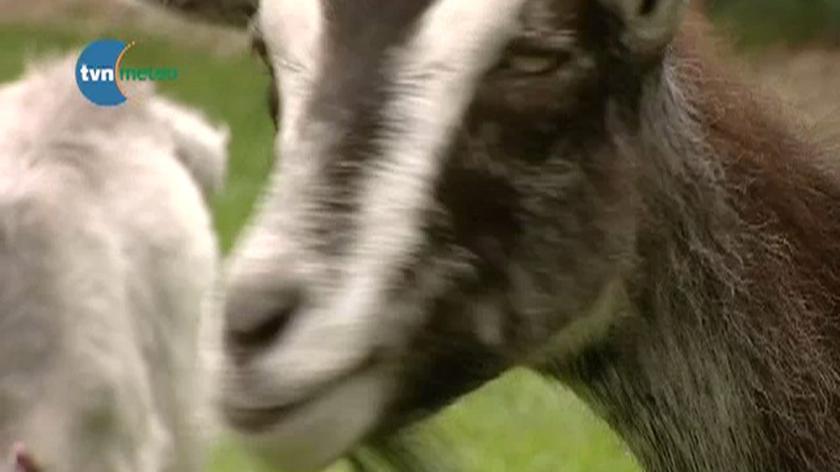 Fascynujące kozy