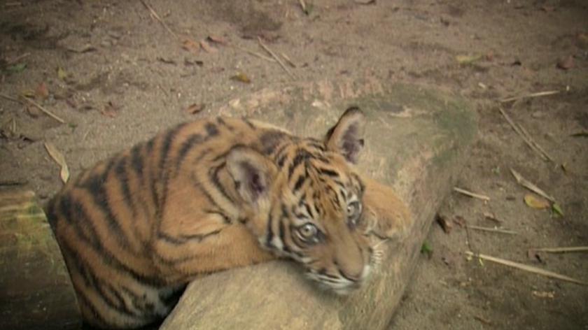 Zagrożone gatunki: tygrysy (materiał archiwalny)