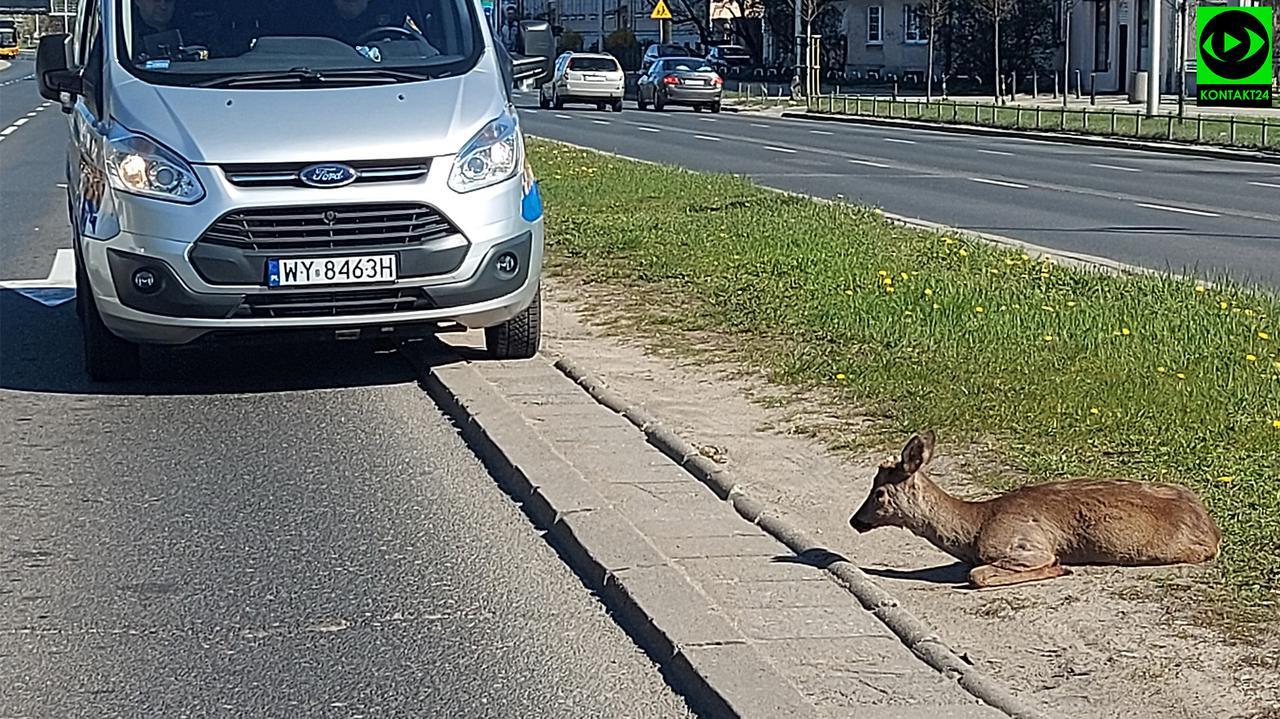 """""""Siedziała na pasie zieleni, miała problem z nogą"""". Auto potrąciło sarnę na Wisłostradzie"""