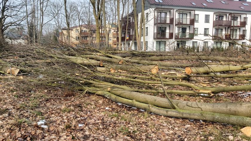 Wycinka drzew w Milanówku