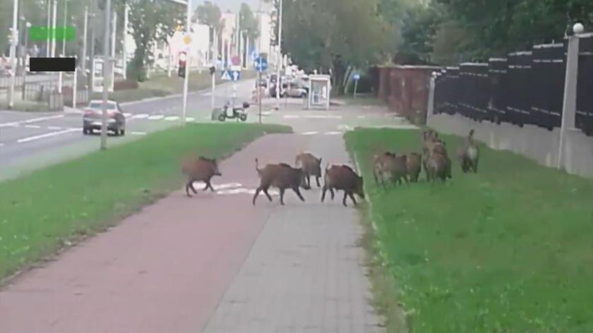 Dziki na Bródnie
