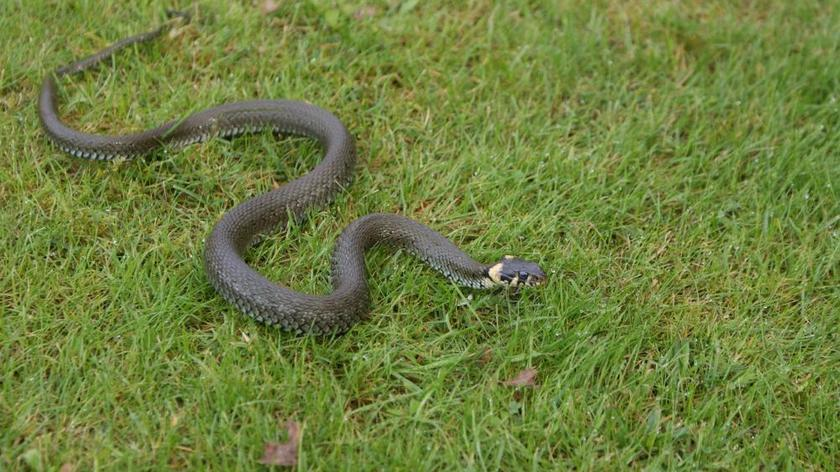 Policjanci złapali węża na ogródku