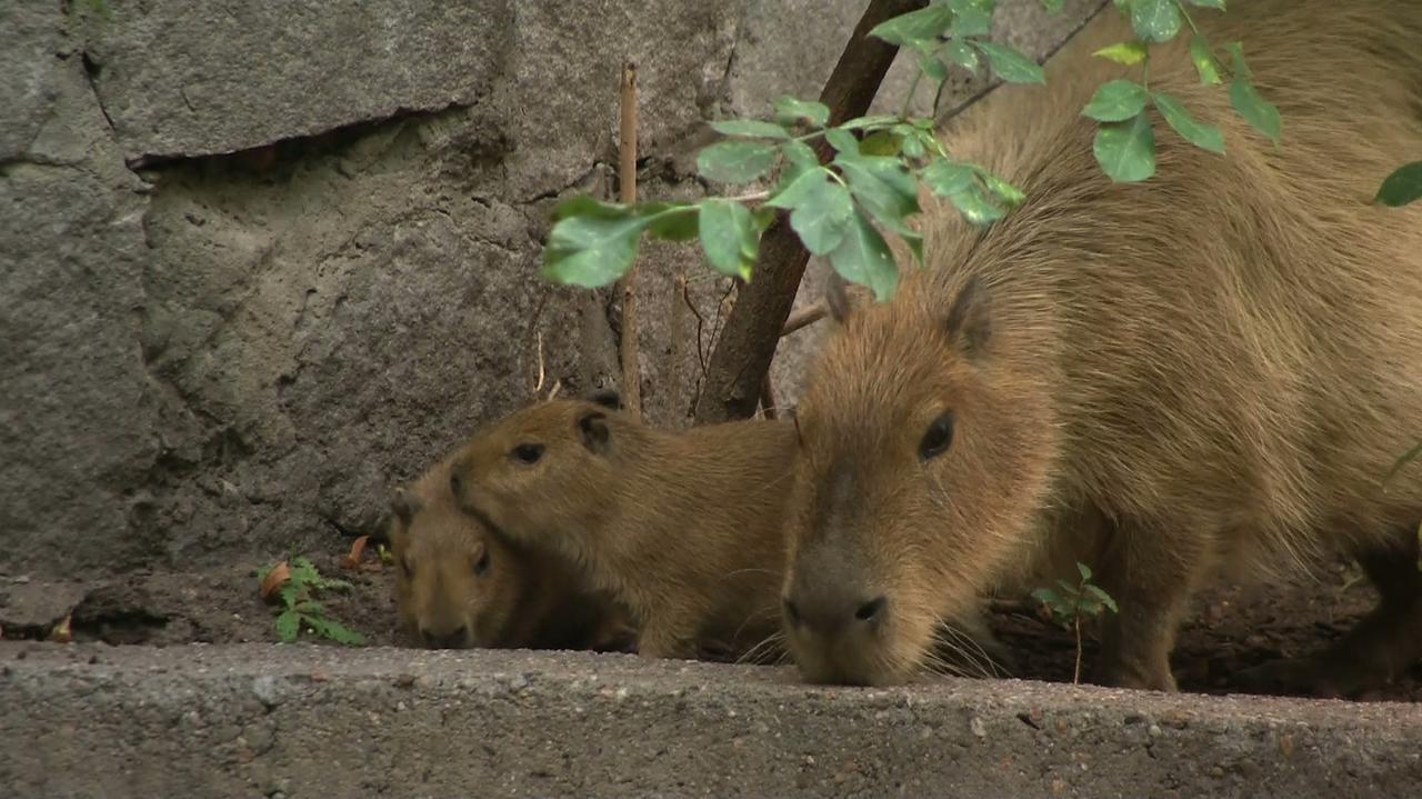 Na świat przyszły małe kapibary.