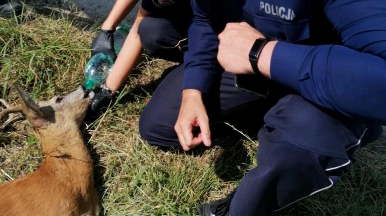 Potrąciła koziołka i powiadomiła policję.