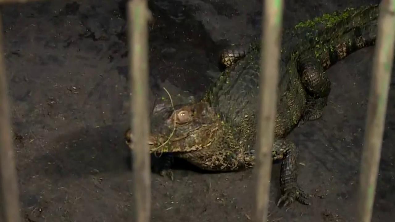 Nad Odrą we Wrocławiu złapali aligatora