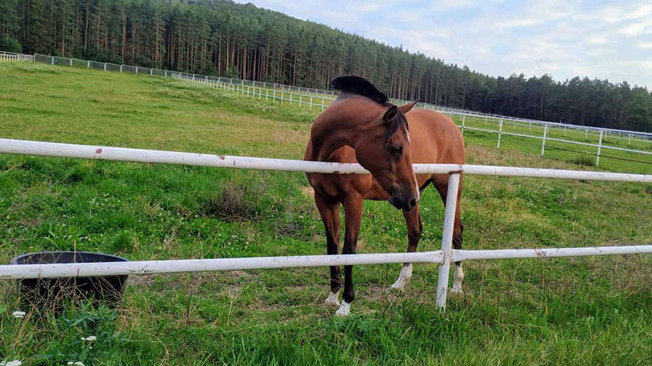 Koń wart prawie pół miliona złotych został zastrzelony.